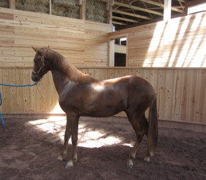 American Gold - 2010 Colt by Aprendiz de Colores out of Provocadora de la Hacienda